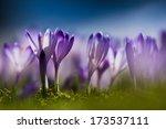 Blooming Violet Crocuses