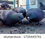 Three Beautiful Pigeons Peck...