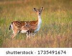Protective Fallow Deer  Dama...