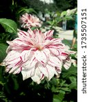 Close Up Of A Dahlia With The...
