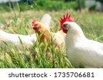 Free Range Chicken Maneuvering...