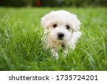 Small photo of Small cute puppy of maltese dog sitting in the grass. Diffuse background. White fluffy fur.
