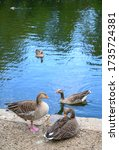 Greylag Geese On A Lake In...