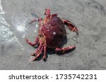 A Large  Red Crab Lying On A...