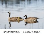 Two Canadian Geese Swimming...
