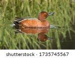 A Cinnamon Teal Swims In Still...