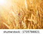 Golden Wheat Field Background...