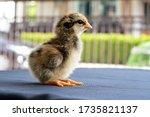 Baby Mini Wyandotte Chick On...