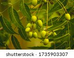 Fresh Neem Fruit On Tree With...
