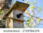 Starling Bird   Sturnus...