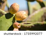 Close Up View Of Prickly Pear...