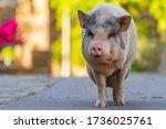 Pink Vietnamese Pig Walking...