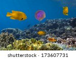 Small photo of Amblyglyphidodon aureus, Golden damselfish.