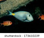 Small photo of Acanthurus monroviae (Surgeonfish)