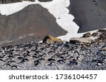 Adelie Penguin Rookery At Brow...