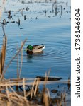 Duck On Water Scene. Duck Water....