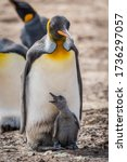 Small photo of King penguin with squawking chick between feet