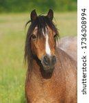 A Headshot Of A Roan Welsh Pony ...