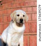 Happy Yellow Labrador Puppy...