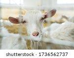 Beautiful White Goat On A Farm ...
