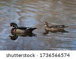 Two Wood Ducks Swimming In A...