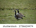 Canadian Geese On A Field....