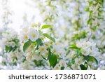 White Flowers Of Apple Trees...