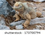 The Galapagos Land Iguana Is A...