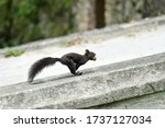 Mutated Black Squirrel  Sciuru...