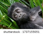 Mountain Gorilla Portrait From...