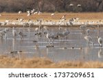 Sandhill Cranes And Snow Geese...