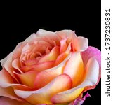 Vibrant Veined Rose Macro Of A...