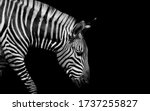 Sad Black And White Zebra...