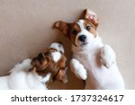 Two Cute Puppies Jack Russell...