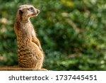 A Sweet Meerkat Stands Guard