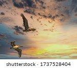 Brown Pelicans In Flight...