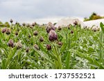 Artichoke Plants Grow On Bed In ...