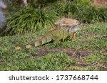 Large Iguana Lizard Walks On...