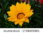 Orange And White Gazania Rigen...
