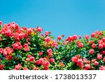 Pink Rose Wall With Blue Sky At ...