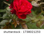 Valentine\'s Day  Red Roses ...
