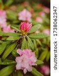 Rhododendron Flower Bush In...