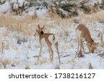 Pronghorn Antelope In Utah In...