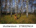Beautiful Dog Of French Mastiff ...