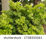 This Is A Type Of Croton Plant...
