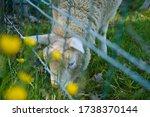 White Baby Lamb Sheep Enjoying...