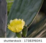 Yellow Prickly Pear Cactus...