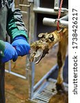 Small photo of the veterinarian trims the hooves of a cow with a knife to trimming the hooves of animals on the farm. hoof care concept.