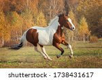 American Paint Horse   Action...