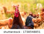 Portrait Of A Rooster On A Farm